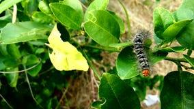 Worm caterpillars, Butterfly worm walking around stock video