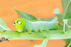 Worm the caterpillars Stock Images