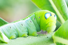 Worm the caterpillars stock photography