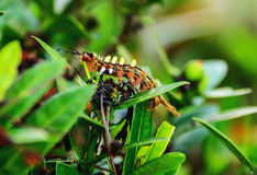Worm. Caterpillars eating leaves to its body completely Stock Images