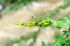 Worm. Caterpillars eating leaves to make it healthy Stock Photos