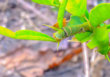 Worm. The caterpillars are unsightly color for camouflage Stock Image