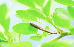 Worm. The caterpillars are unsightly color for camouflage Royalty Free Stock Photos