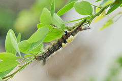 Worm. The caterpillars are unsightly color for camouflage Stock Images