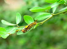 Worm. The caterpillars are unsightly color for camouflage Royalty Free Stock Image