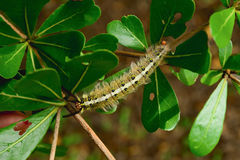 Worm. The caterpillars are unsightly color for camouflage Royalty Free Stock Photo