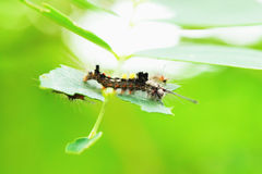Worm. The caterpillars are unsightly color for camouflage Stock Photo