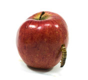 Worm is coming out of bitten apple stock photos
