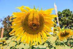 Worm in de zonnebloem Stock Afbeelding