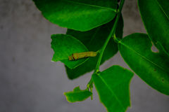 Worm eating leaves. The worm is eating the lemon tree leaves for its life Royalty Free Stock Photo