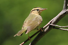 Worm-eating Warbler (Helmitheros vermivorum) Royalty Free Stock Photo