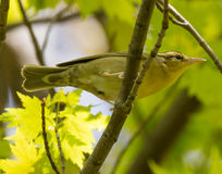 Worm Eating Warbler Stock Images