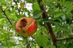 Worm Geteisterd Apple Royalty-vrije Stock Foto