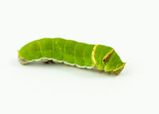 Worm Royalty Free Stock Image