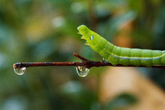 A worm. Green worm crawling slowly on the branches Royalty Free Stock Image