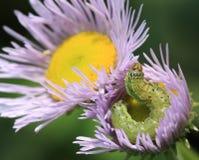 Worm. A green worm in daisy flower Stock Photos