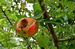 Worm Infested Apple. A ripe apple hanging on a tree is infested with worms Royalty Free Stock Photo