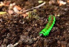 Worm is the large caterpillar. Red Mopane worms on ground. Big and long worm caterpillar insect larva from the order Lepidoptera (