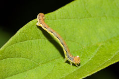 Worm on a Leaf Stock Images