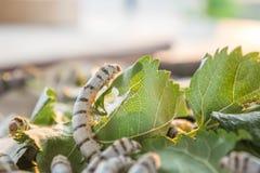 Worm les larves qui mangent des feuilles et des cosses de mûre en tant que des chrysalides dans le c Images stock