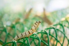 Worm les larves qui mangent des feuilles et des cosses de mûre en tant que des chrysalides dans le c Photos libres de droits