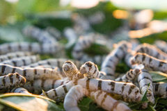 Worm les larves qui mangent des feuilles et des cosses de mûre en tant que des chrysalides dans le c Images libres de droits