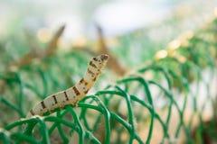 Worm les larves qui mangent des feuilles et des cosses de mûre en tant que des chrysalides dans le c Photo stock