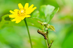 Worm and Little star flower in green nature Royalty Free Stock Images