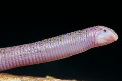 Worm lizard / Diplometopon zarudnyi Royalty Free Stock Image