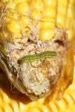 Worm on maize Stock Photos