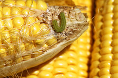Worm on maize Stock Images