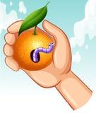 Worm in rotten orange Stock Photography