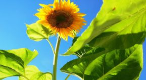 Worm's Eye View Photo Of Sunflower Royalty Free Stock Photography