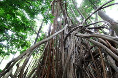 Worm''s eye view of a strangler fig (Ficus aurea). Worm's eye view of a strangler fig (Ficus aurea) in a tropical forest Stock Photo
