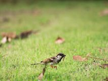 The Worm in The Sparrow Beak. Standing on The Grass Royalty Free Stock Photo