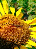 Worm on sunflower Stock Images