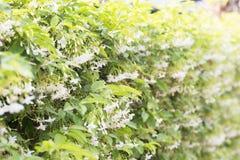 fresh and beautiful wild water plum flowers Stock Image