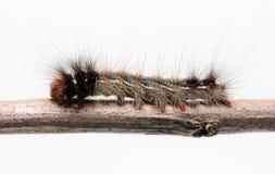 Worm on twig Stock Image