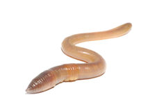 Worm on white Stock Images