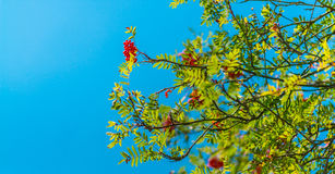Worm's Eye View of Red Flowered Tree during Daytime Royalty Free Stock Photo