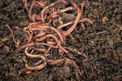 wormen Stock Afbeeldingen