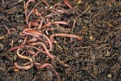 wormen Stock Afbeelding