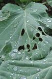 Wormhole Cabbage leaf Royalty Free Stock Image
