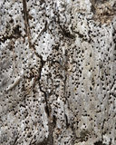 Wormholed wood texture Royalty Free Stock Photography