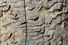 Wormholes del gran escarabajo del Capricornio, cerdo de Cerambyx Foto de archivo libre de regalías