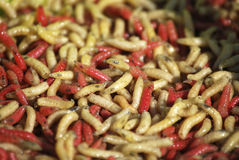 Worms. Several worms in red an yellow. Invertebrate bugs Royalty Free Stock Image