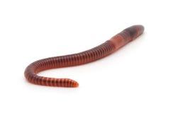 Worms. Isolated earth worms. Isolated earth worms Royalty Free Stock Photos