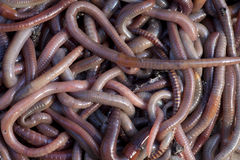 Worms. Huge amount of earthworms close to fishing Royalty Free Stock Photo