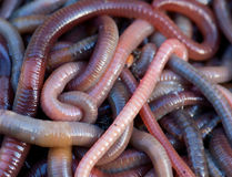 Worms. Huge amount of earthworms close to fishing Royalty Free Stock Images