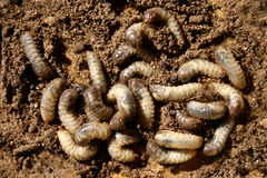 Worms. A number of white worms crawling in loose soil Stock Photography